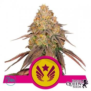 Legendary OG Punch Plante de marijuana