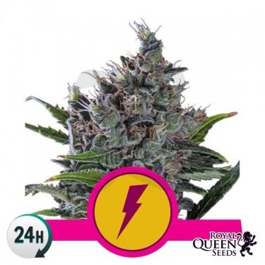 North Thunderfuck Plante de marijuana