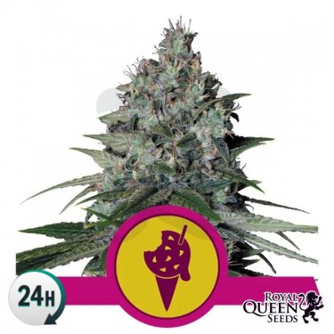 Cookies Gelato Plante de marijuana