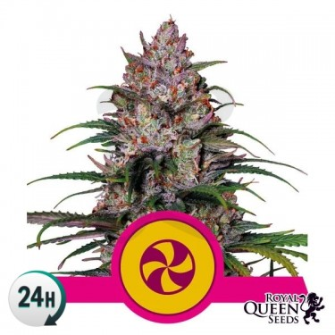 Plante de marijuana Sweet ZZ