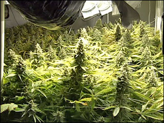 Training Cannabis Plants for Fatter Buds