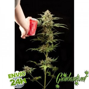 The 5 Best Seeds for Grow Tents