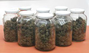 The Importance of Drying Cannabis