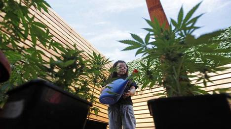 Mothers that Treat their Kids with Cannabis