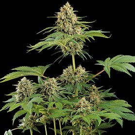 The best marijuana in the world