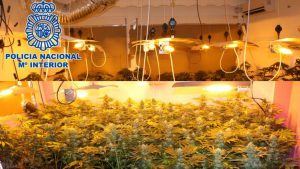 spain produces cannabis for all of europe indoor crop photo