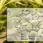 How Light Radiation Affects Cannabis Plants