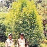 Gigantic Marijuana Plants