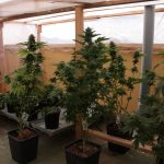 Growing Cannabis in the Winter