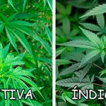 What's the difference between Indica and Sativa?