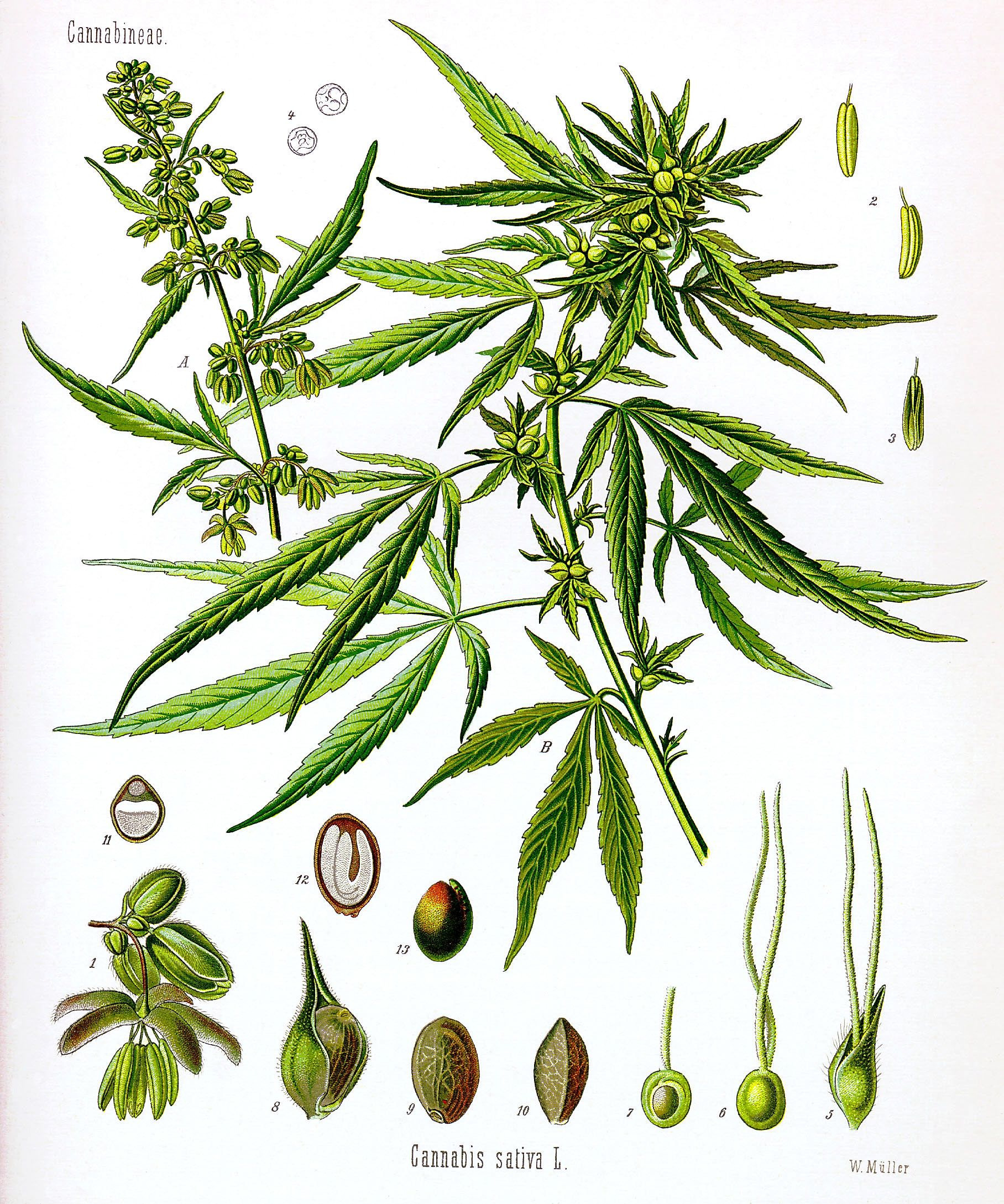 male and female weed plants male plant structure
