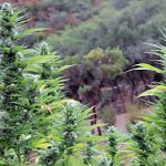When does cannabis flower outdoors?