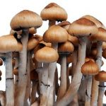 mazapetec mushrooms