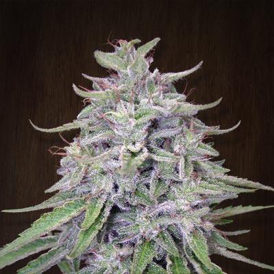 Marihuana Resistente Al Oidio, la Mejor Solución Contra el Hongo