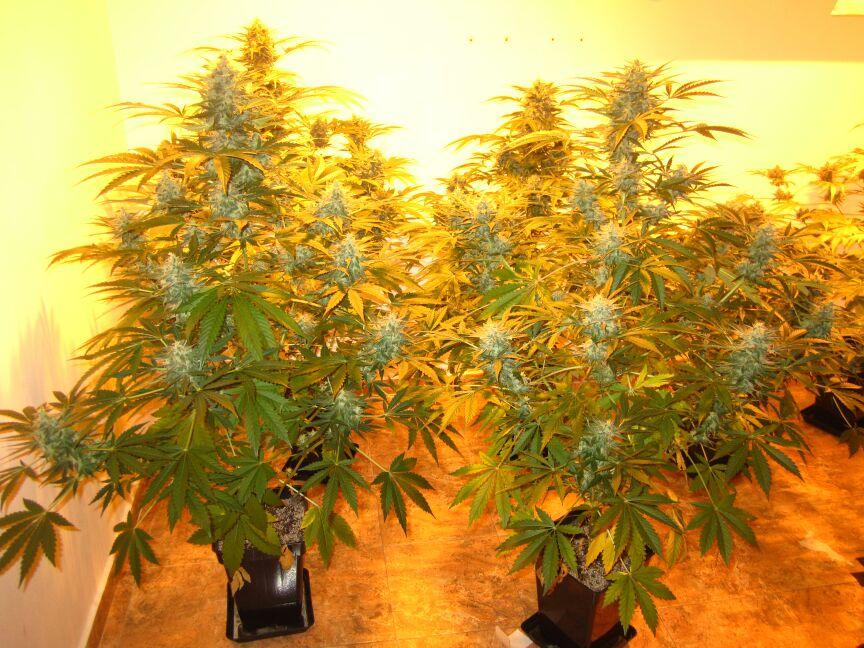 Cuando cortar marihuana fotos de la cosecha for Plantas marihuana interior
