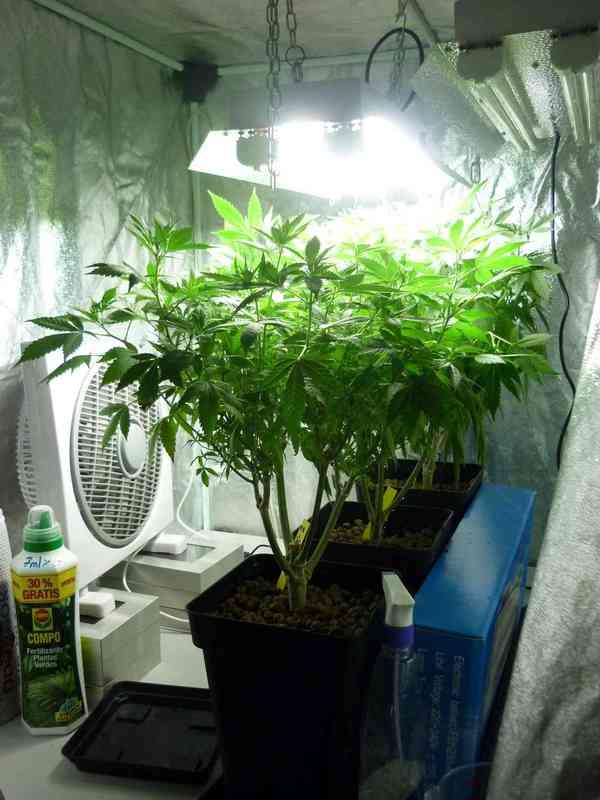 Hacer y Mantener Plantas Madre de Marihuana - Blog de Grow Barato