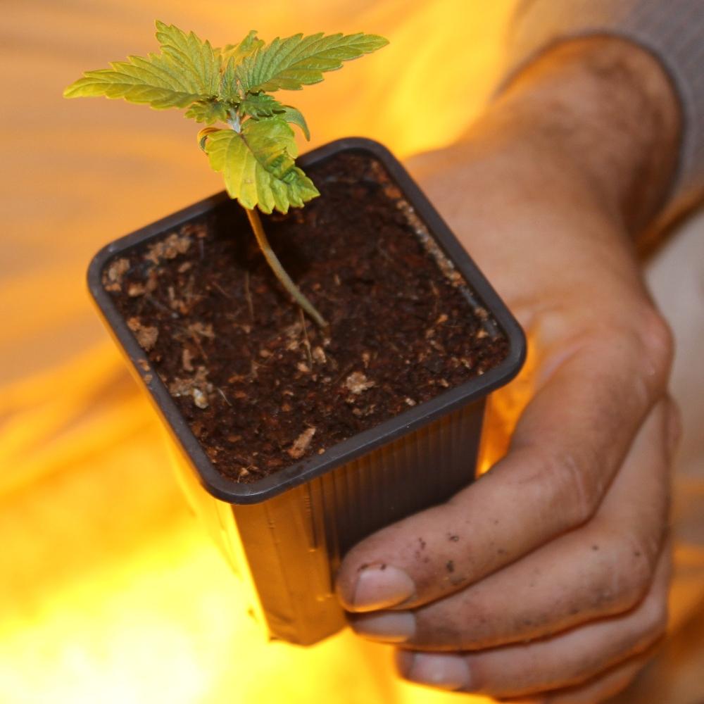 Plantar semillas Autoflorecientes de Marihuana
