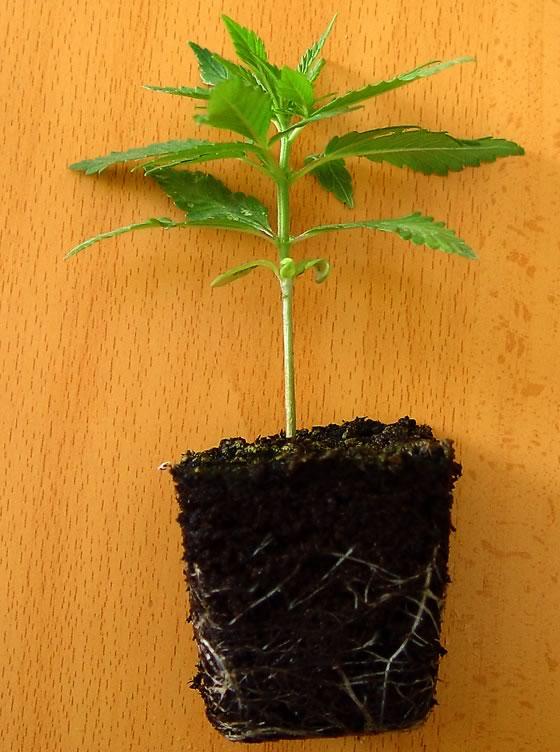 trasplantes de la marihuana qué maceta usar - blog de grow barato