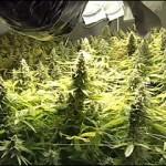 Tutorar Plantas de Marihuana Cogollos más Gordos