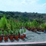 Cultivo Básico de Marihuana En Exterior – Outdoor