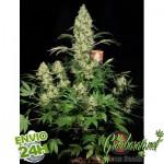 Ak-47 Marihuana
