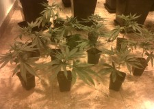 Esquejes de marihuana