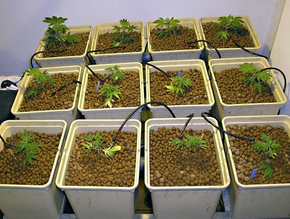 Como cultivar marihuana en hidropónico
