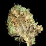 Tipos de hongos en la marihuana