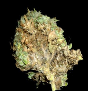 tipos hongos en la marihuana foto de botrytis