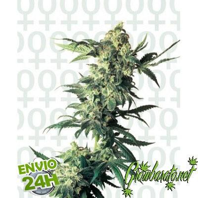 mejores semillas de marihuana para interior