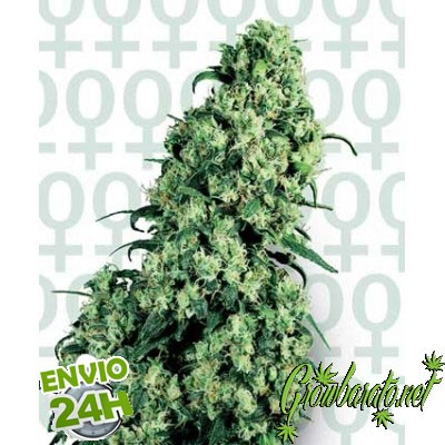 Sensi Seeds Semillas de Marihuana