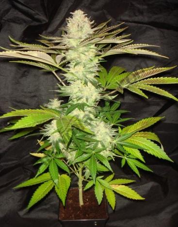 Ventajas de cultivar marihuana en coco