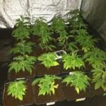 Regar por debajo macetas marihuana