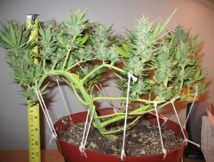 Tipos de podas en plantas de marihuana