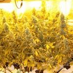 Cultivo de marihuana en slabs de coco