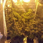 Cultivar marihuana en armario de cultivo