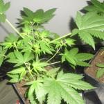 Cuando y como podar tus plantas de marihuana
