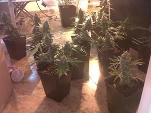 Semillas de marihuana vs esquejes blog de grow barato - Semillas de interior ...