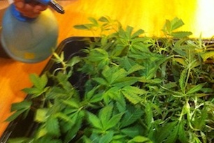Why Aren't my Clones Rooting? - Growbarato Blog