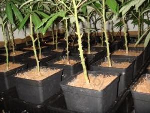 quand et comment tailler vos plantes de cannabis