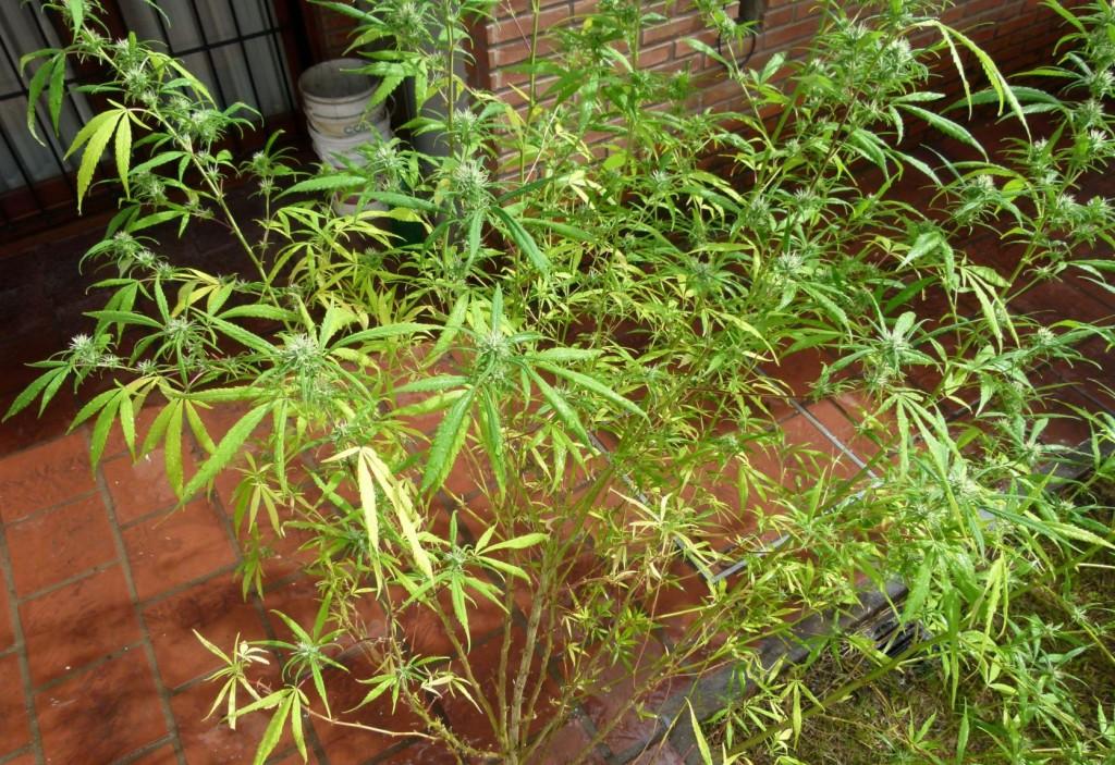y como podar tus plantas de marihuana