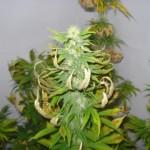 Brûlures sur les feuilles de Cannabis