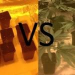 Semillas de Marihuana VS Esquejes