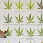 Carencias de macro nutrientes en la marihuana
