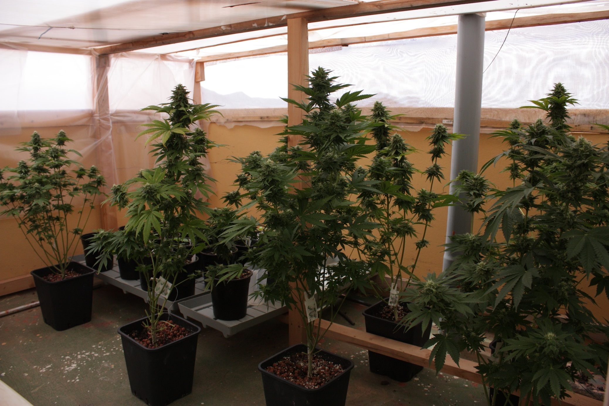 Cultivo de invierno de plantas de marihuana for Macetas cultivo interior
