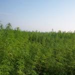 Cultivo de marihuana en Guerrilla