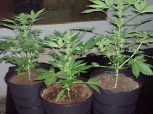 Cultivo de invierno de plantas de marihuana for Plantas marihuana interior