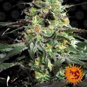 mejores marihuanas de exterior