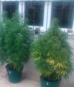 Por que trasplantar la marihuana