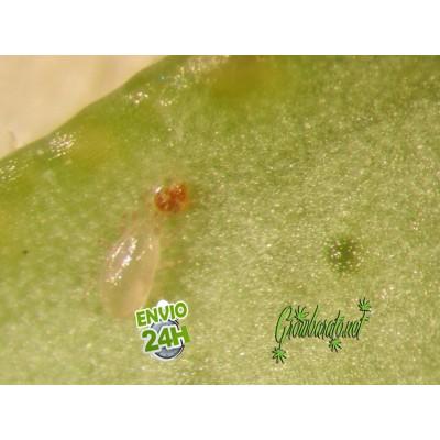 Lucha Biológica contra plagas en Marihuana